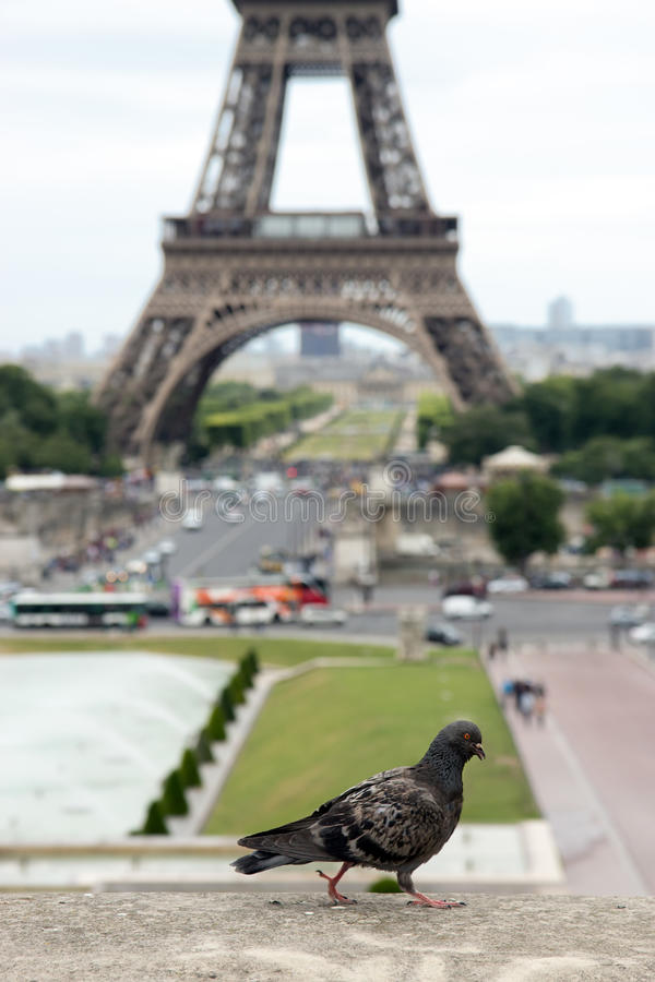 Pombo pela torre Eiffel imagens de stock royalty free