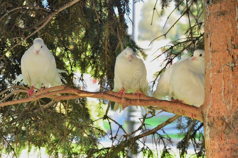 Pombo que empoleira-se no ramo e que trava alguns ramos da árvore para preparar seu ninho, CCB imagem de stock royalty free