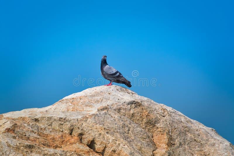 Pombo que está na rocha foto de stock royalty free