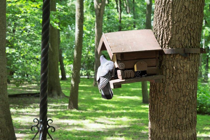 Pombo que procura o alimento em um comedoiro na árvore imagem de stock royalty free