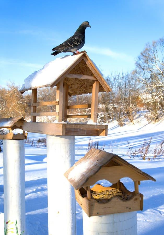 Pombo que senta-se em um alimentador de madeira do pássaro Dia gelado do inverno fotos de stock royalty free