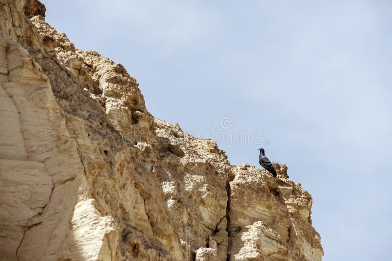 Pombo que senta-se em uma rocha em um desfiladeiro em um Mar Morto imagens de stock royalty free