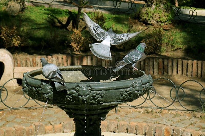 Pombo que voa acima da fonte com outro ainda empoleirar-se, parque de Cerro Sata Lucia, parque histórico no Santiago, o Chile foto de stock royalty free