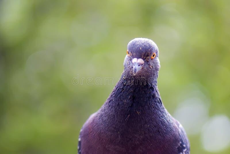 Pombo, retrato do pássaro do culver imagem de stock