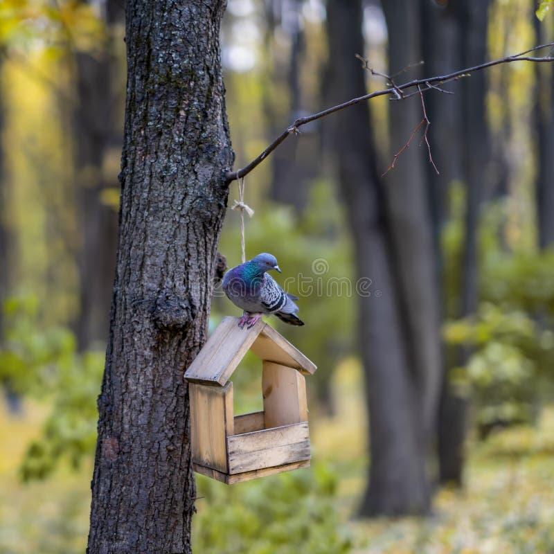 Pombo selvagem curioso que senta-se em um alimentador de madeira do pássaro na floresta do outono imagens de stock royalty free