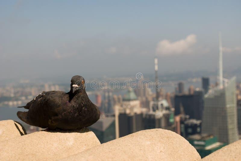 Pombo sobre o Empire State Building, olhando norte, em agosto de 2009 foto de stock royalty free