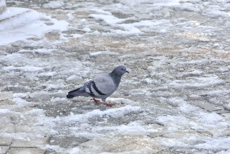 Download Pombo sozinho na neve foto de stock. Imagem de pássaro - 65576200