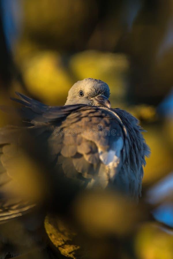 Pombo torcaz que prepara-se para a noite fotografia de stock royalty free