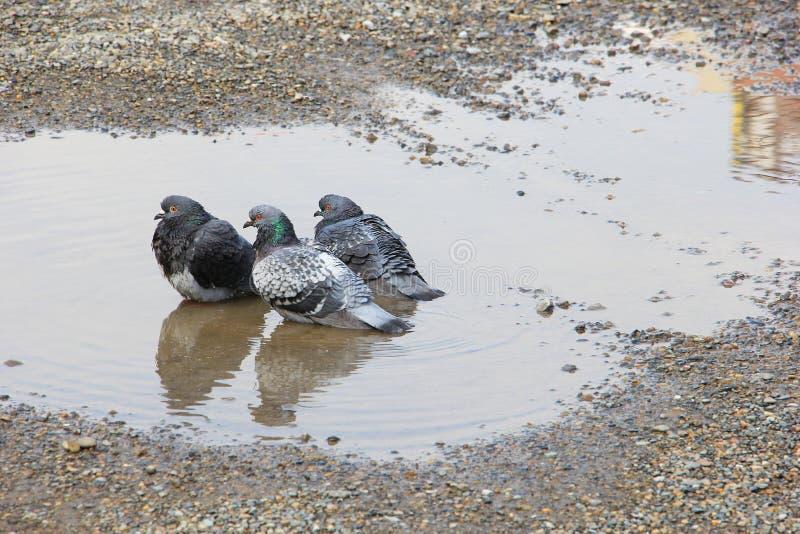 Pombo três em uma poça da água foto de stock royalty free