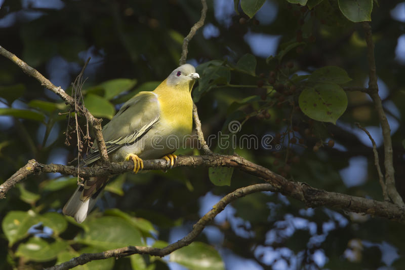 pombo verde Amarelo-footed foto de stock