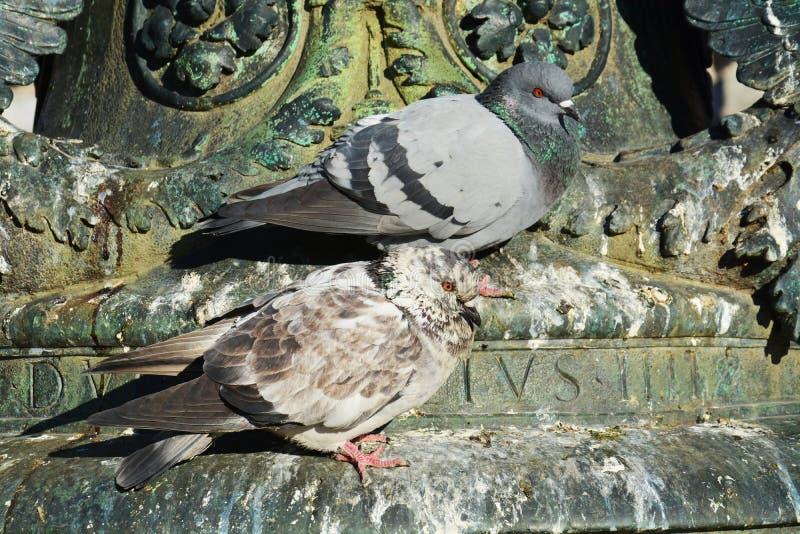 Pombos bonitos na arquitetura Venetian fotos de stock