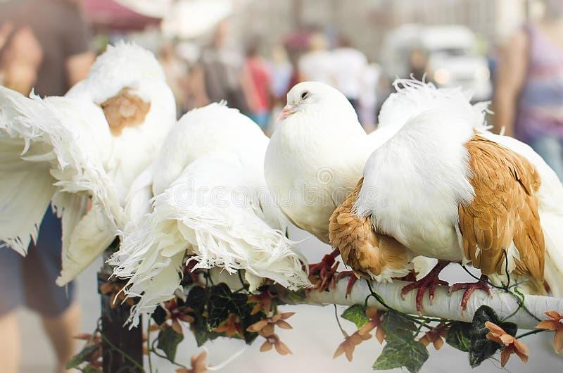 Pombos brancos bonitos do puro-sangue, close up fotografia de stock royalty free