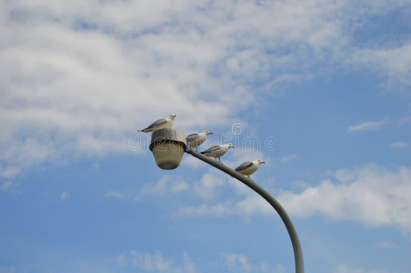 Pombos brancos que sentam-se na lâmpada de rua foto de stock royalty free