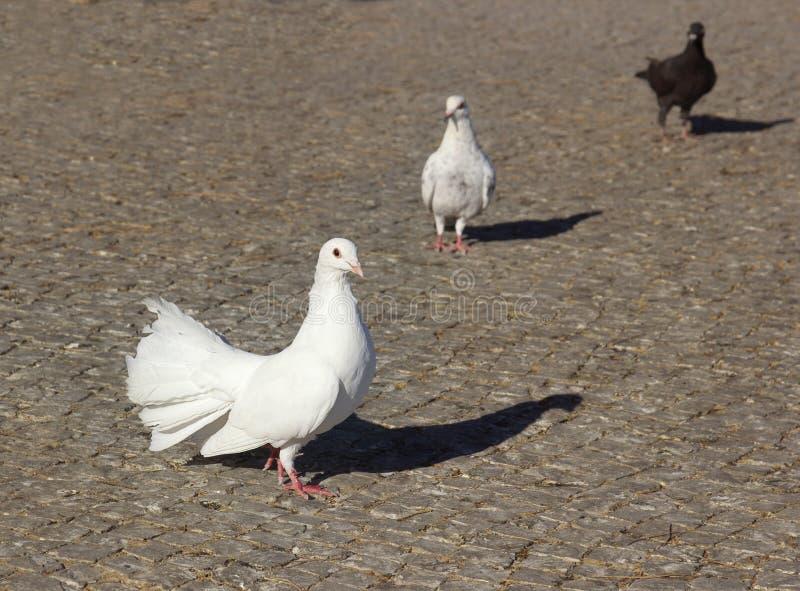 Pombos brancos Três pombos em uma pedra de pavimentação cinzenta fotos de stock
