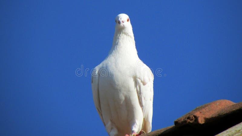 Pombos da casa no telhado imagens de stock