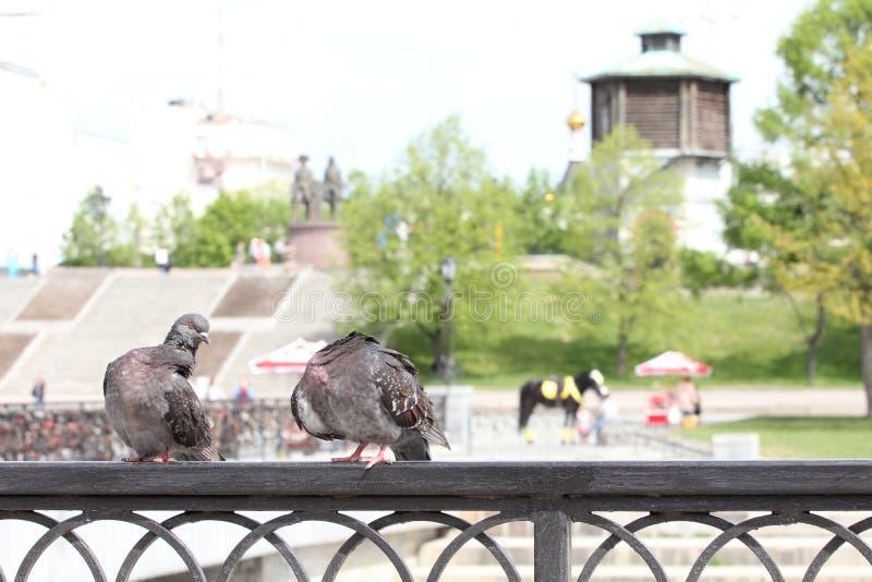 Pombos da cidade foto de stock royalty free