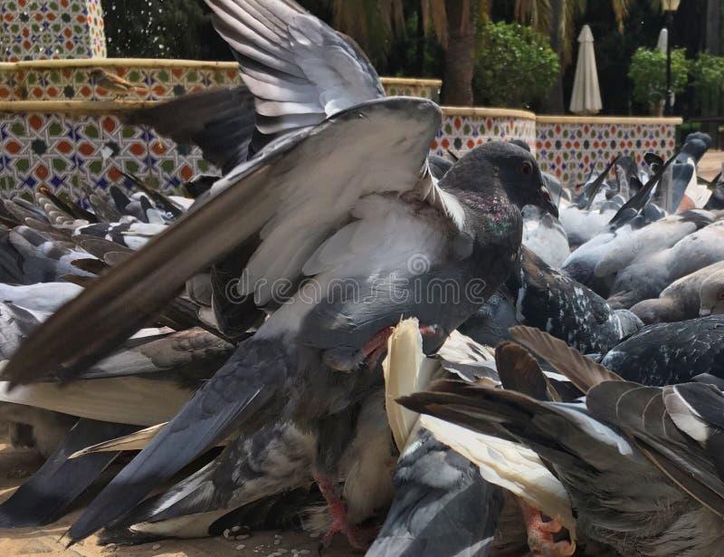 Pombos de combate imagens de stock