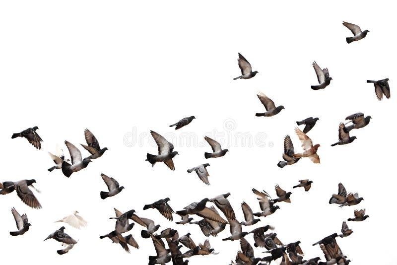 Pombos do vôo fotos de stock royalty free
