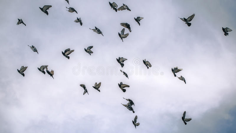 Pombos do voo no céu nebuloso imagem de stock royalty free