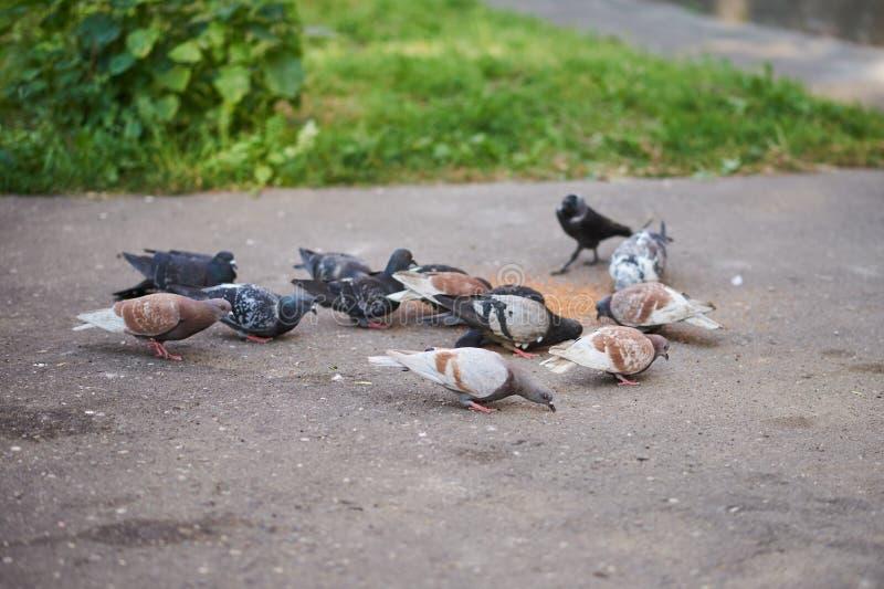 Pombos e jackdaw que bicam a grão no asfalto fotografia de stock royalty free