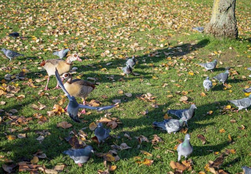 Pombos e outros p?ssaros na ?rea verde de Hyde Park i fotos de stock royalty free