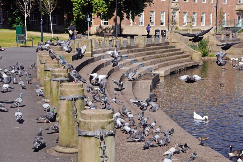 Pombos em etapas de Derwent do rio, derby fotografia de stock