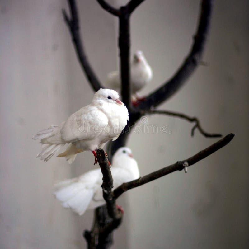 Pombos em uma árvore fotografia de stock royalty free