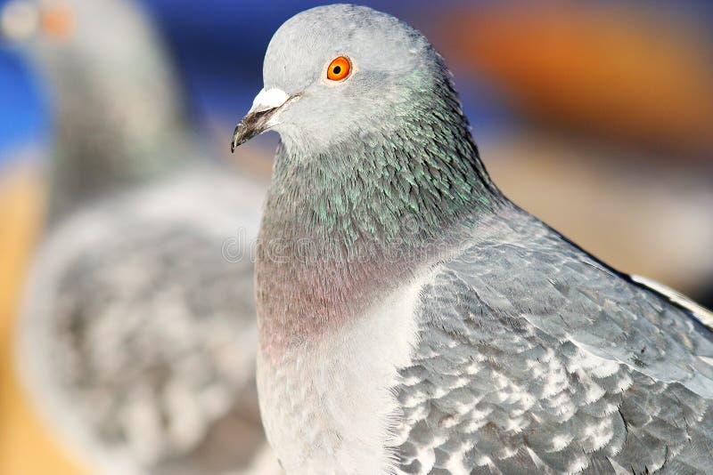 Pombos na natureza imagens de stock royalty free