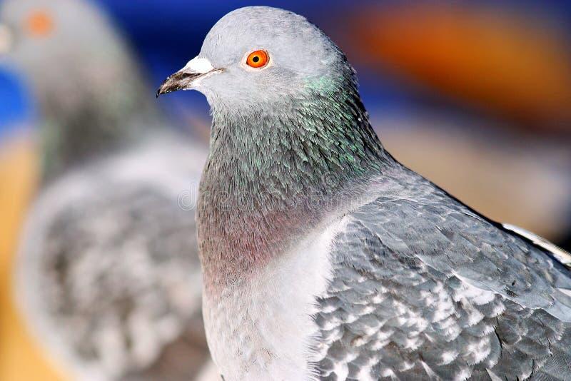 Pombos na natureza fotos de stock