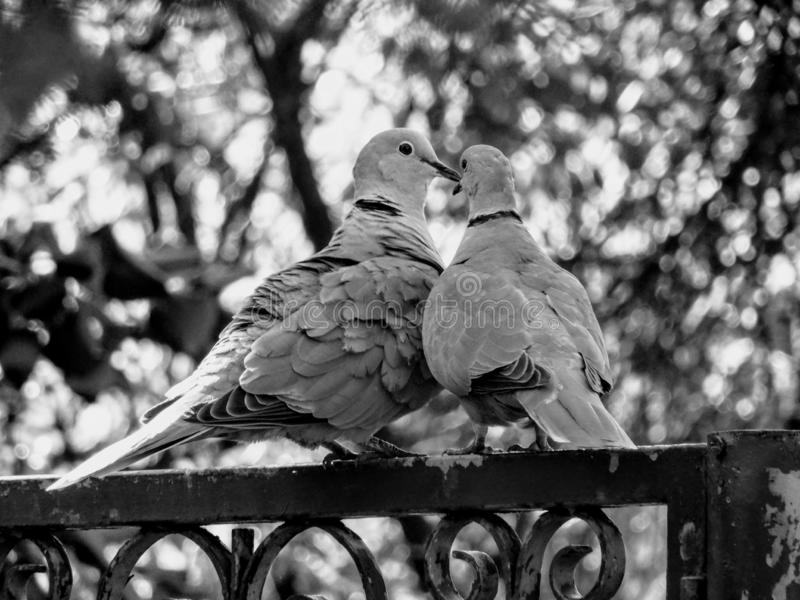 Pombos no amor fotografia de stock royalty free