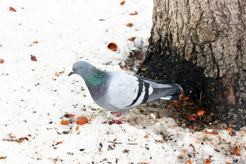 Pombos no inverno no parque imagem de stock