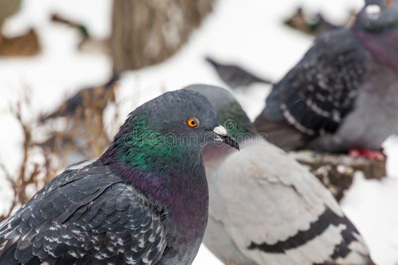 Pombos no parque da cidade Fim acima Dia de inverno imagem de stock
