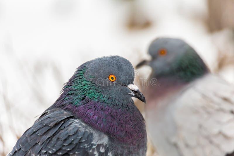 Pombos no parque da cidade Fim acima Dia de inverno imagens de stock royalty free