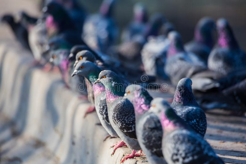 Pombos no parque da cidade pássaros Uma cerca concreta foto de stock royalty free