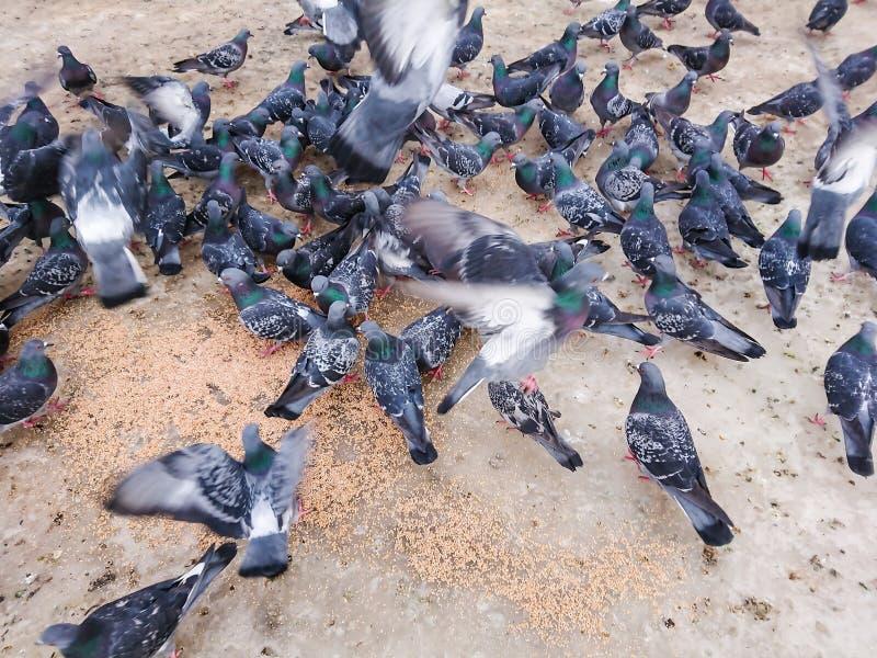 Pombos no parque da cidade que comem a grão fotos de stock royalty free