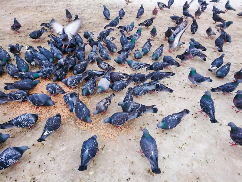 Pombos no parque da cidade que comem a grão imagens de stock royalty free