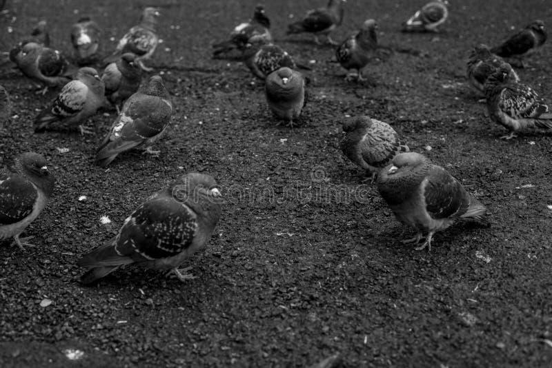 Pombos preto e branco que sentam-se no concreto imagem de stock