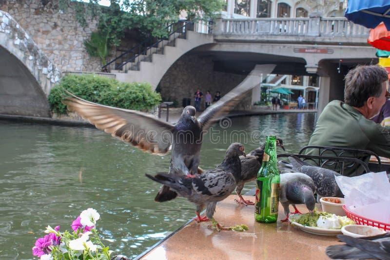 Pombos que comem o guacamole deixado em uma tabela do canal-lado no Riverwalk - foco seletivo e movimento foto de stock