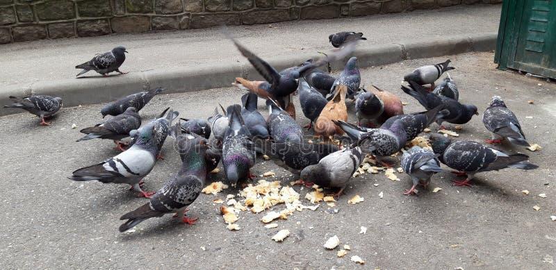 Pombos que comem o p?o imagem de stock
