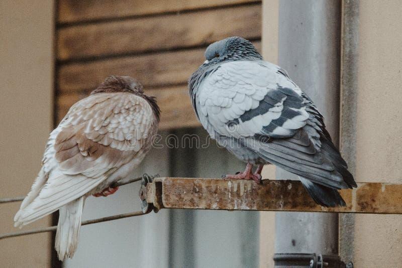 Pombos que esperam o café da manhã imagem de stock