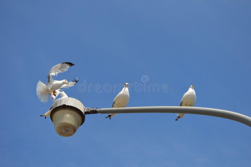Pombos que jogam sob a luz solar brilhante fotografia de stock royalty free
