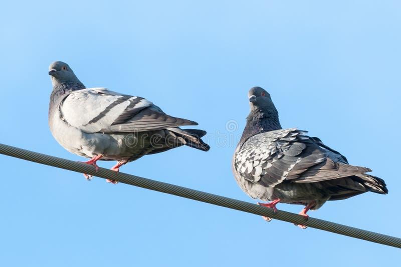 Pombos que levantam em um fio-close up imagem de stock