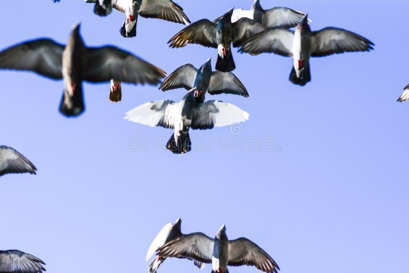 Pombos que voam no quadrado no grupo imagens de stock