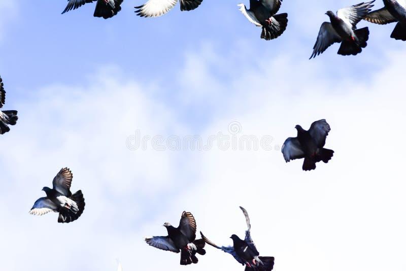 Pombos que voam no quadrado no grupo fotos de stock royalty free