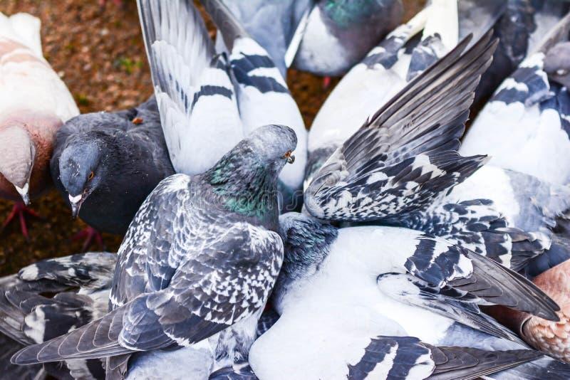 Pombos que voam no quadrado no grupo fotos de stock