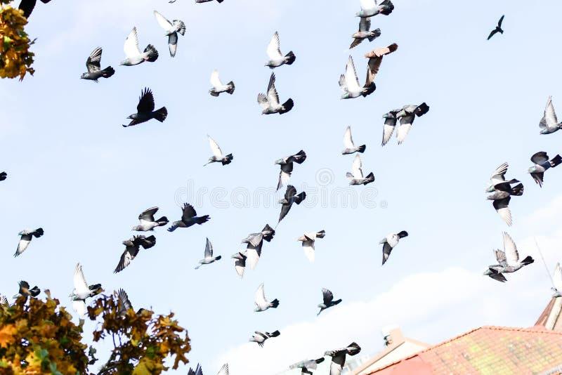 Pombos que voam no quadrado no grupo imagem de stock royalty free