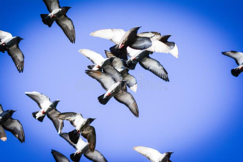 Pombos que voam no quadrado no grupo fotografia de stock royalty free