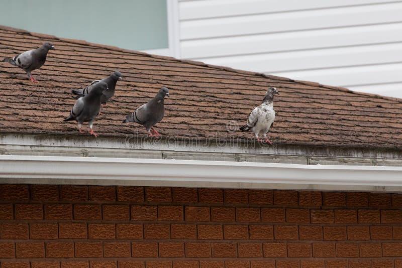 5 pombos sobre um telhado da casa imagens de stock royalty free