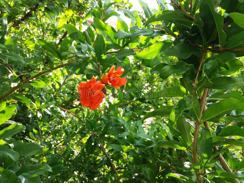 Pomegranadebloem stock fotografie