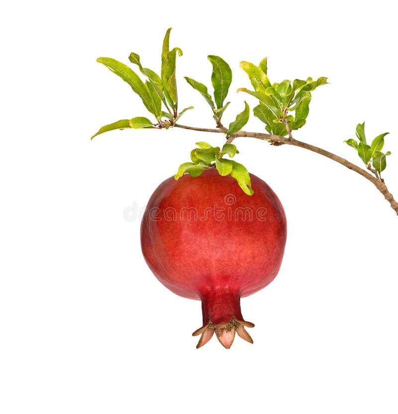 pomegranate ветви зрелый стоковые изображения rf
